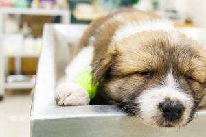 dog-parvovirus